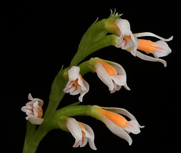 New orchid genus, Quechua.