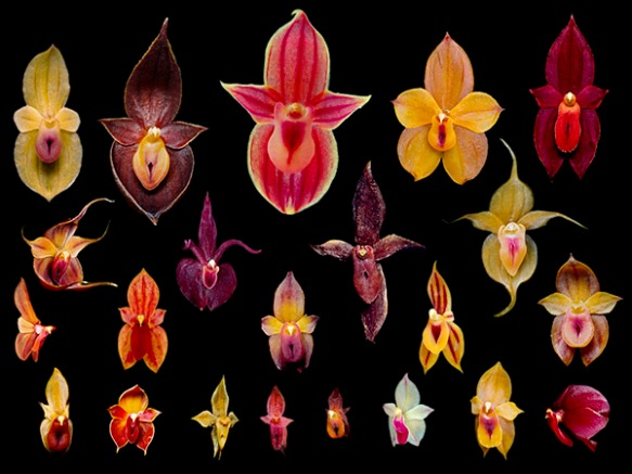 These are all new species of Teagueia orchids discovered in the last twelve years in and around the EcoMinga reserves. Only one Teagueia species was known previously from the area.