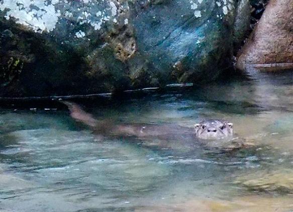 Neotropical Otter on the Rio Zunac. Recalde/EcoMinga