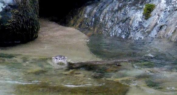Neotropical Otter on the Rio Zunac. Recalde/EcoMinga.