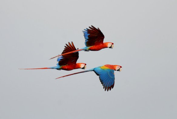 Scarlet macaw in Ecuador. Photo: RogerAhlman.