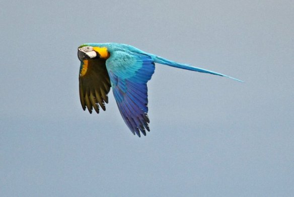 Blue-and-yellow Macaw. Photo: Roger Ahlman.