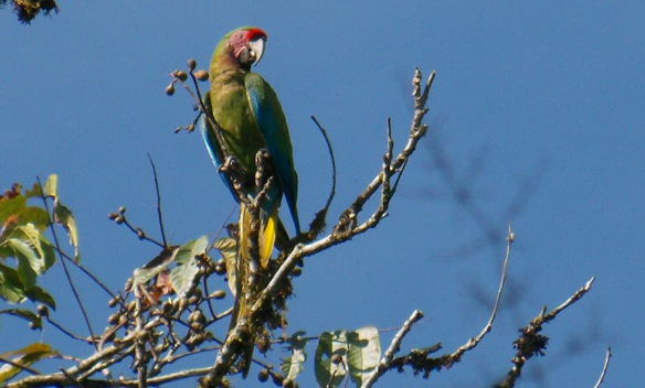 Military Macaw in our Rio Anzu Reserve. Photo: Luis Recalde/EcoMinga. Click image to enlarge.