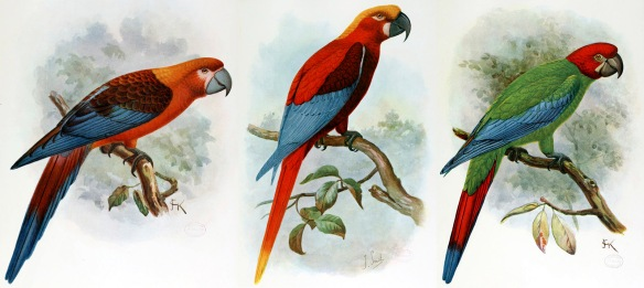Three extinct Carribean macaws. Left: Jamaican Red Macaw; center, Cuban Red Macaw; right, Jamaican Red-headed Macaw. Images: Wikipedia. Click image to enlarge.