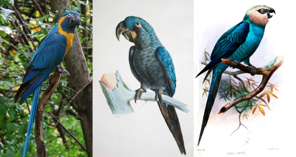 Left, Blue-throated Macaw; center, Glaucous Macaw; right, Spix's Macaw. Images: Wikipedia.