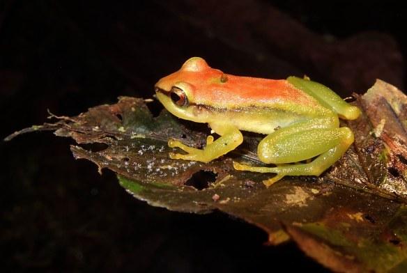 Pristimantis acuminatus. Photo: Lou Jost/EcoMinga.