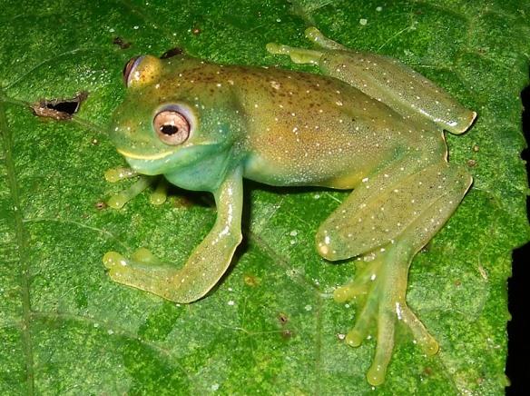 Hyloscirtus phyllognathus