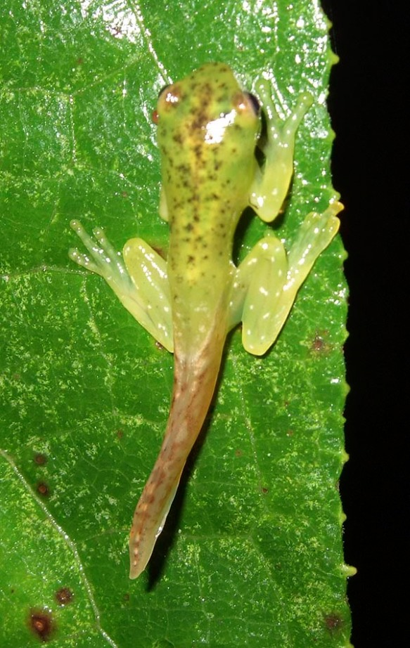 Recently emerged frog. Photo: Lou Jost/EcoMinga.