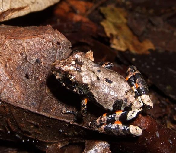 Pristimantis ventrimarmoratus. Photo Lou Jost/EcoMinga.