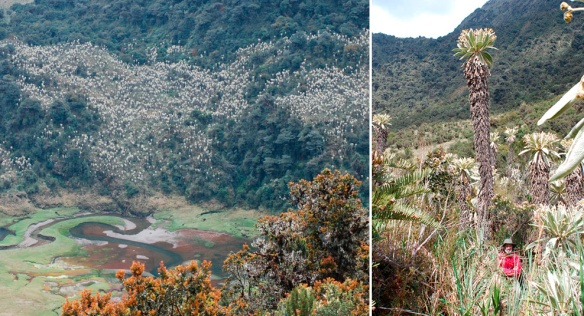 "The Llanganates sangurimas that were mentioned in Valverde's guide to the treasure. They are today better known by their Spanish name ""frailejones"" (little priests) or their scientific name Espeletia pycnophylla ssp. llanganatensis. Left: They make conspicuous white patches visible from many miles away, excellent landmarks. Right: Closer view. These are the tallest Espeletia in Ecuador. Photo: Robert and Daisy Kunstaetter. Robert is visible in the left photo beneath the tall sangurima."