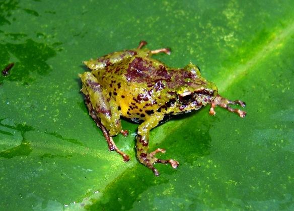 Pristimantis bellae, una especie nuevo de la Reserva Cerro Candelaria, recien descrito por Marco y sus colegas. Pristimantis bellae, a newly described species co-discovered by Marco in EcoMinga's Cerro Candelaria Reserve.