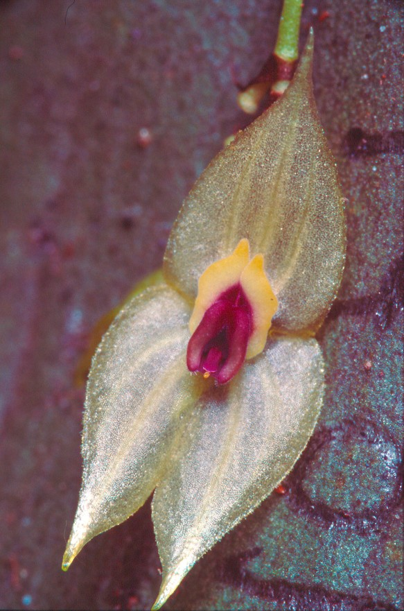 Lepanthes tungurahuae was discovered on the lower slopes of Tungurahua volcano, but that population would have been periodically wiped out by eruptions. I found that it actually had a much wider distribution. Photo: Lou Jost.