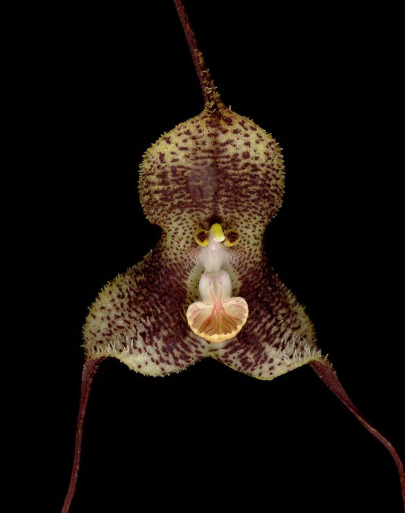 Dracula fuligifera, an orchid found only in the Cordillera Abitagua above the Rio Zunac. Its lip mimics a mushroom to attract fungus gnats for pollination.