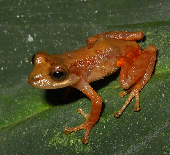 Pristimantis ardyae. Photo: Juan Pablo Reyes.