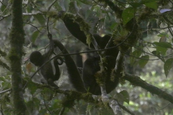 Mother and baby Woolly Monkeys in our Rio Zunac Reserve. Photo: Bethan John.