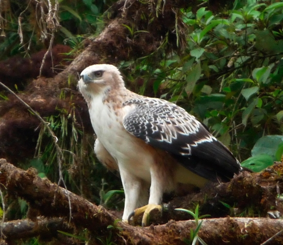 The white juvenile of the Black and Chestnut Eagle (Andean Eagle), Spizaetus isidori, a predator of the Woolly Monkey. Photo: Luis Recalde/EcoMinga
