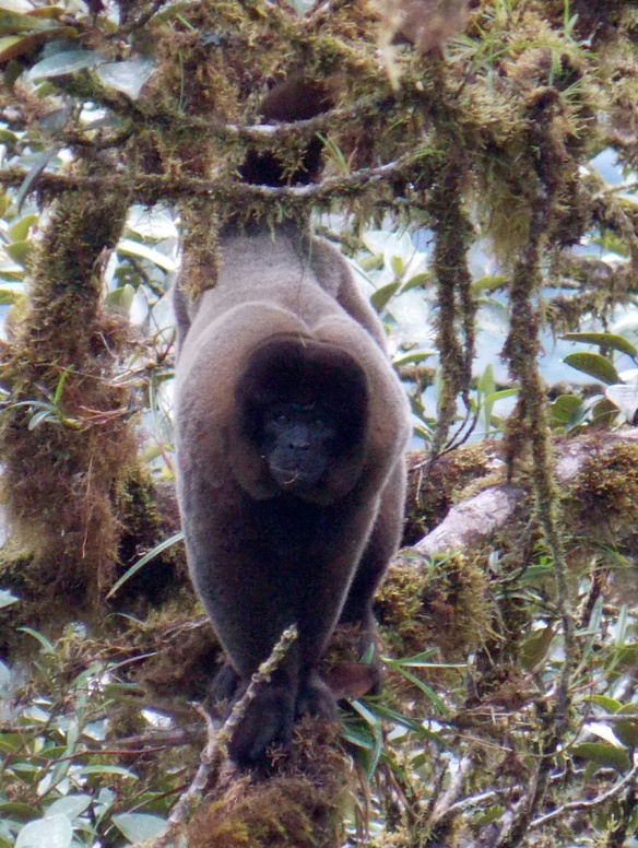 Woolly Monkey in our Rio Zunac Reserve. Photo: Luis Recalde/EcoMinga.