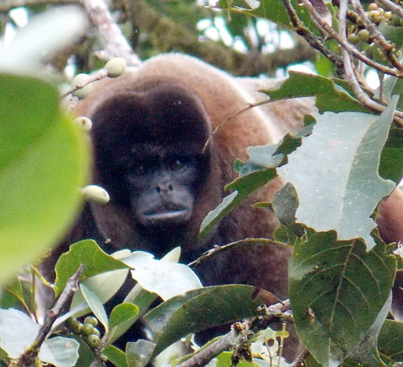 Woolly Monkey in our Rio Zunac Reserve at about 2000m elevation. Photo: Luis Recalde/EcoMinga.