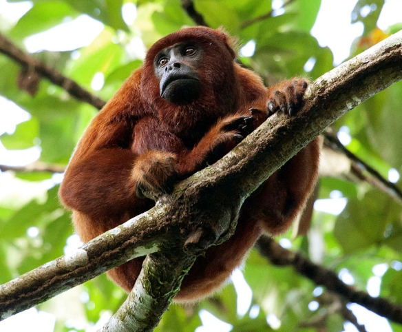 Red Howler Monkey (Peru). Photo: Wikipedia.