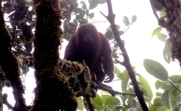Red Howler Monkey in the fog and rain in our Cerro Candelaria Reserve. Photo: Luis Recalde/EcoMinga.
