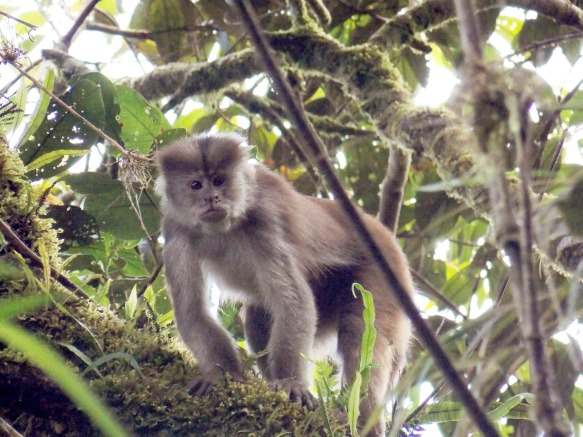 White-fronted Capuchin, Cebus albifrons