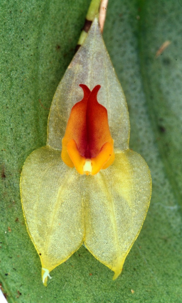 Lepanthes mayordomensis. Photo: Lou Jost/EcoMinga.
