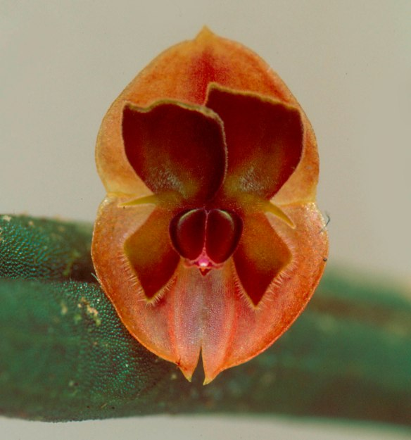 Lepanthes pseudomucronata from our Rio Zunac Reserve. Photo: Lou Jost/EcoMinga.