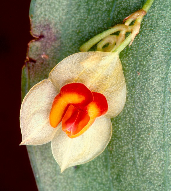 Lepanthes ruthiana. Photo: Lou Jost/EcoMinga.
