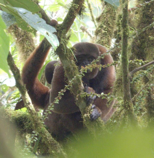Shy Woolly Monkey female with baby on her back (head visible behind her shoulder). Photo: Lou Jost/EcoMinga