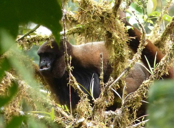 Woolly Monkey. Note beard or mane of very long black hair on chest. Photo: Lou Jost/EcoMinga.
