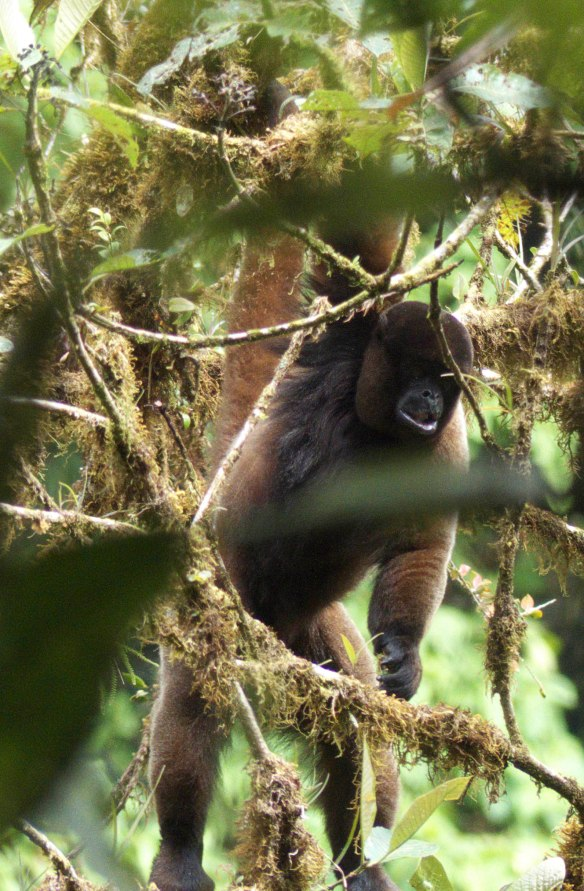 Woolly Monkey passing through branches, hanging by its tail. Note fringe of long black hairs on chest. Photo: Lou Jost/EcoMinga.