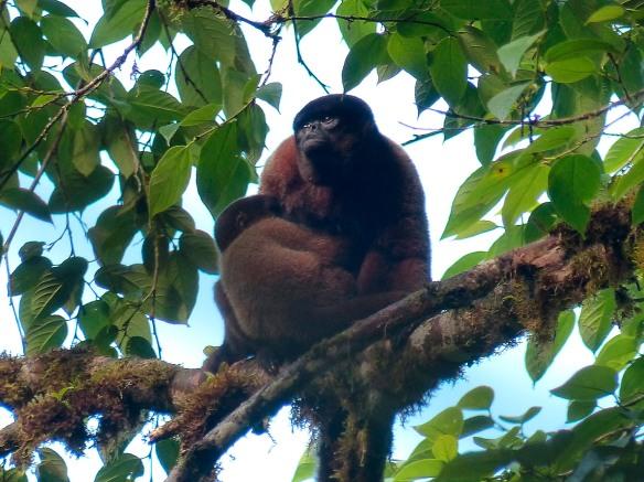 Mother Woolly Monkey nursing her baby. Photo: Fausto Recalde/EcoMinga.