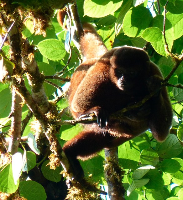 Curious Woolly Monkey. Photo: Fausto Recalde/EcoMinga.