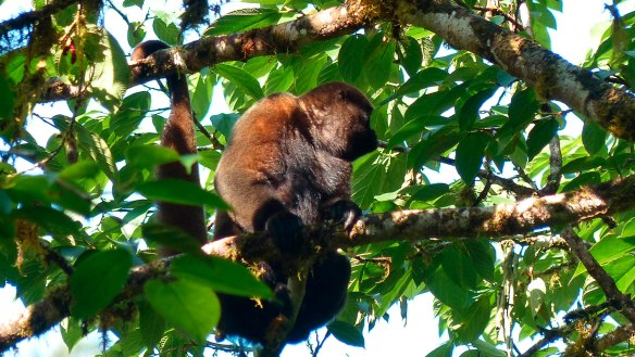A Woolly Monkey with long black chest hair. Photo: Fausto Recalde/EcoMinga.