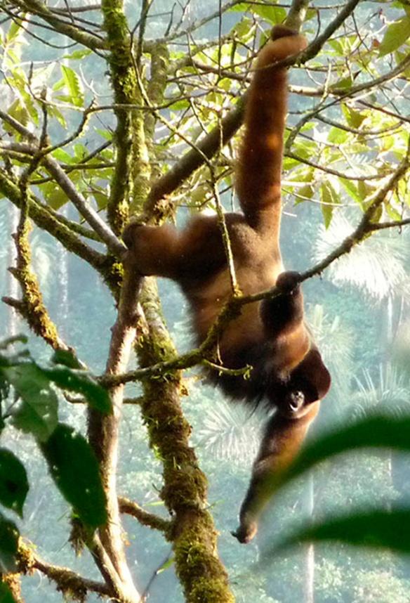 Woolly Monkey in Rio Zunac Reserve. Photo: Fausto Recalde/EcoMinga.