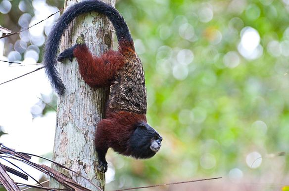 Saddle-back Tamarin. Wikipedia commons.