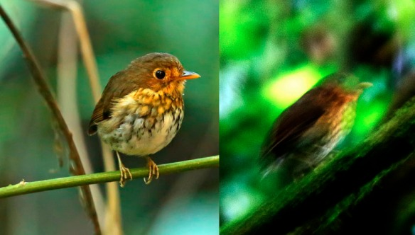 Ochre-breasted Antpitta. Left photo: Roger Ahlman. Right photo: Lou Jost/EcoMinga.