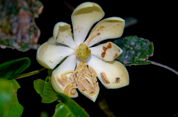New Magnolia sp. #2. The stamens fell off onto the petals as the flower opened. A  pollinating beetle is visible near the tip of the lower-right petal. Photo: Lou Jost/EcoMinga.