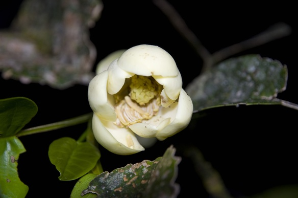 Opening flower of Magnolia species #2. Photo: Lou Jost/EcoMinga.