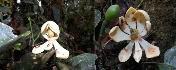 Left: The first flower ever seen of Magnolia species #2 was falling apart and held together by insect or spider webs. Right: The flower opened partially after loosening the webs. Photo: Luis Recalde/EcoMinga.