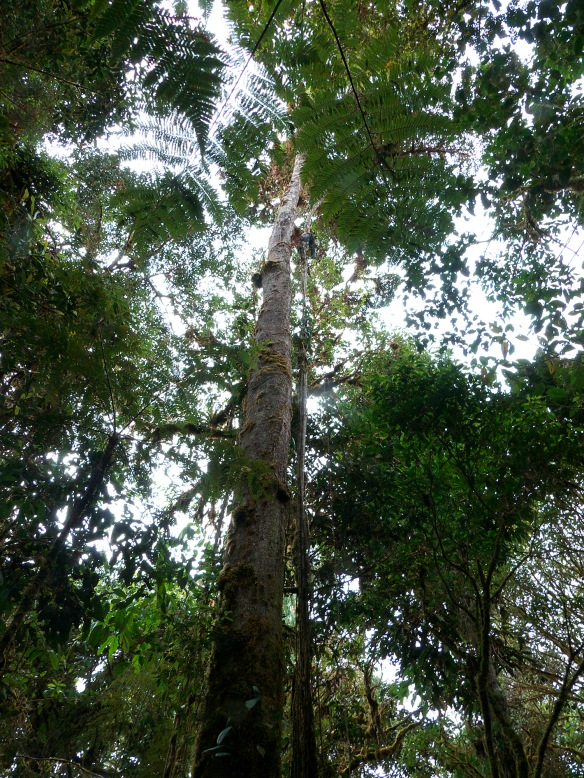 To get the flower buds of these magnolias, Luis Recalde and Fausto Recalde climbed into the canopy. Here Luis climbs the hemiepiphyte root hanging from the right-hand side of the magnolia trunk; click to enlarge since he is so high he is almost invisible. Photo: Lou Jost/EcoMinga.
