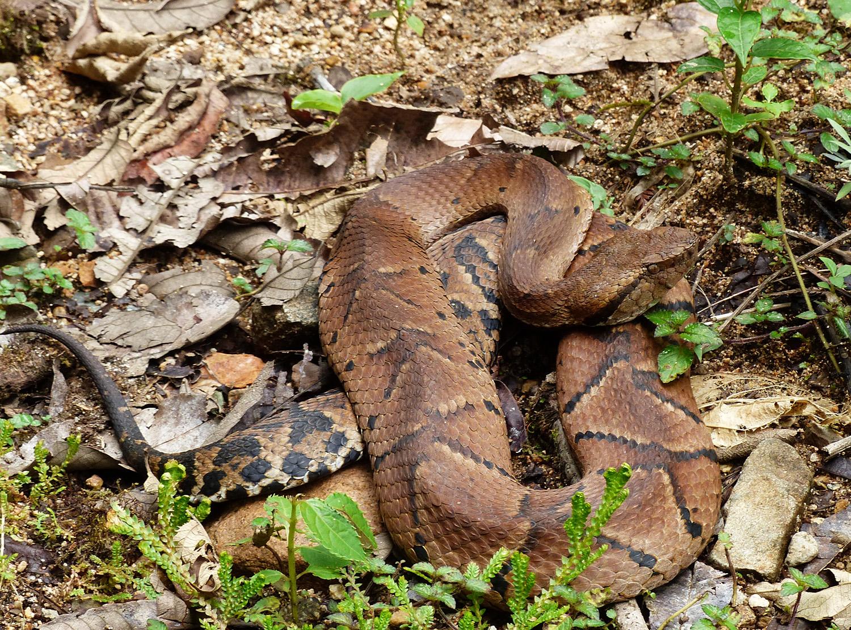 Resultado de imagem para Small-eyed toad headed pit viper