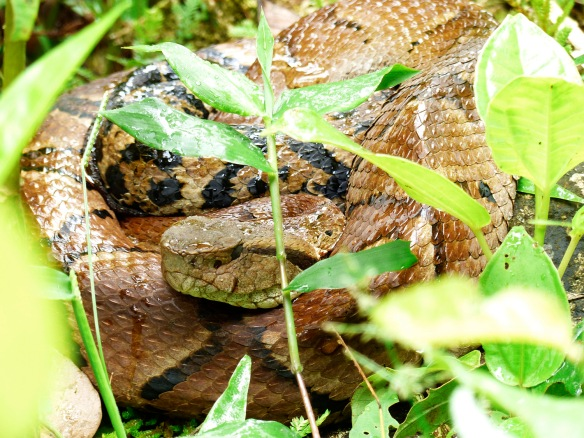 Bothrocophias microphthalmus in his new spot. Photo: Lou Jost/EcoMinga.