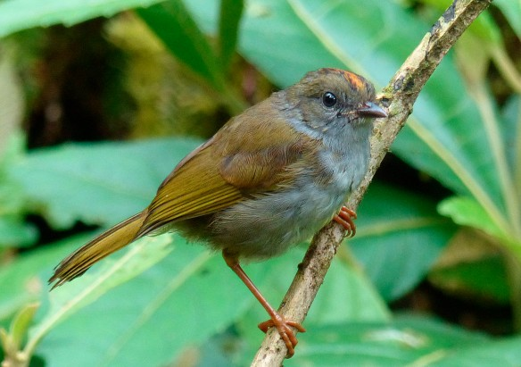 Russet-crowned Warbler at the Rio Zunac field station. Photo: Lou Jost/EcoMinga.