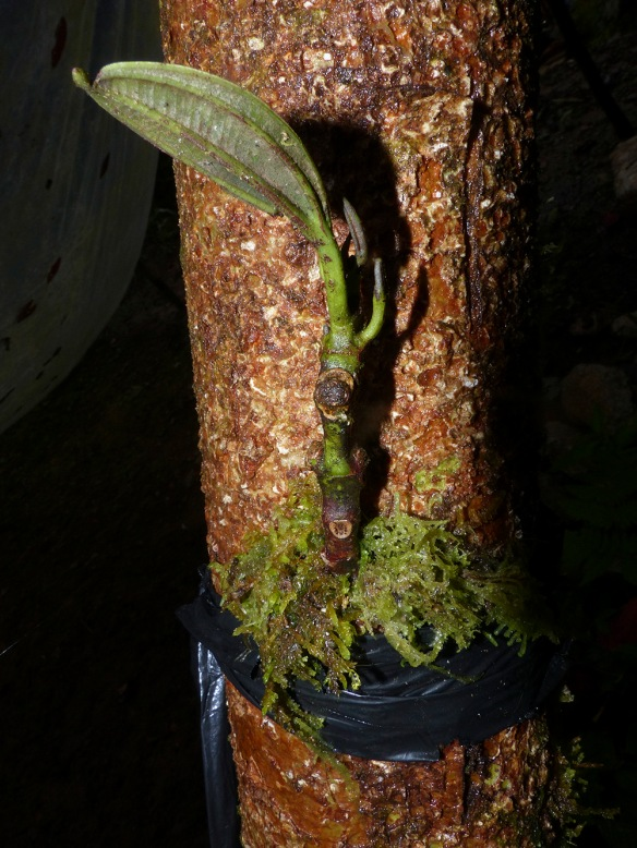 A sprig of the unidentified fragrant Blakea grafted into the trunk of another melastome by our guards, Luis and Tito Recalde. This graft was made over a month ago, and appears to be growing. Photo: Lou Jost/EcoMinga.