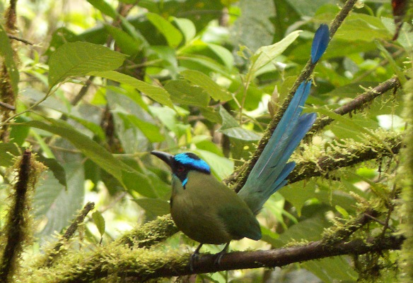 Highland Motmot displaying in the Rio Zunac. Photo: Lou Jost/EcoMinga.