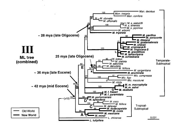 Phylogenetic tree of selected Magnolia species. M dodecapetala, M. ovata, M. mexicana, and M. minor represent the Neotropical species. Figure 1 from Azuma et al (2001), The molecular phylogeny of the Magnoliaceae: The biogeography of tropical and temperate disjunctions. American Journal of Botany 88(12): 2275–2285.