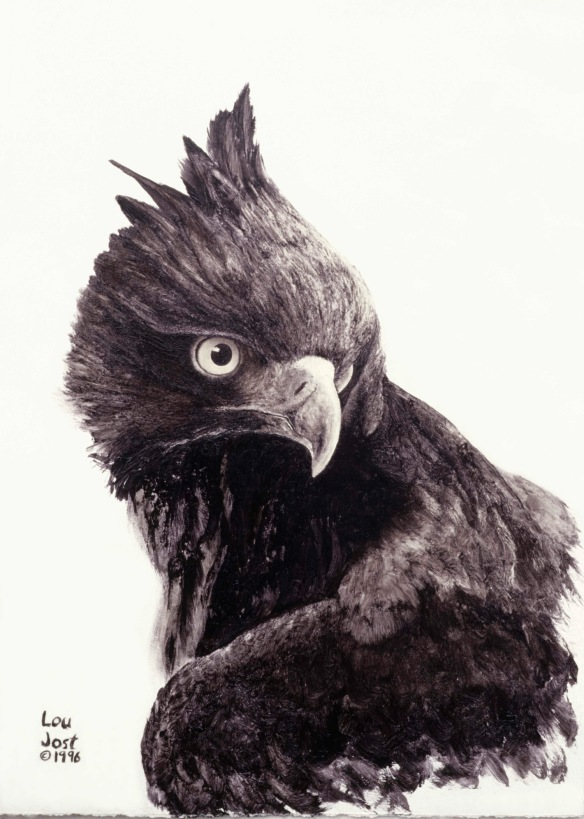 My painting of an adult Black-and-chestnut Eagle.