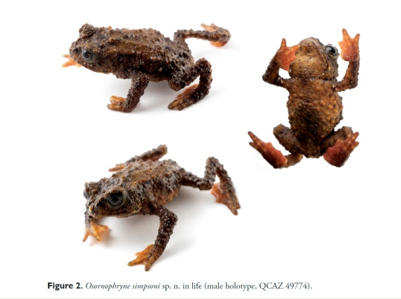 "Osornophryne simpsoni. Figure 2 of ""A new species of Andean toad (Bufonidae, Osornophryne) discovered using molecular and morphological data, with a taxonomic key for the genus."" Diego J. Páez-Moscoso, Juan M. Guayasamin, Mario Yánez-Muñoz, ZooKeys 108: 73–97 (2011)."