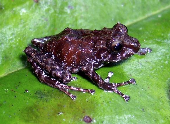 Pristimantis puruscafeum. Photo: Juan Pablo Reyes/EcoMinga.